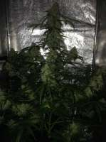 Royal Queen Seeds Amnesia Haze Automatic - photo réalisée par SuperS