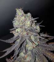 Pic for Critical (Royal Queen Seeds)
