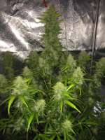 Royal Queen Seeds Easy Bud - photo réalisée par RandomGrowerMG