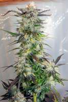 Royal Queen Seeds Lemon Haze - photo réalisée par therpenist