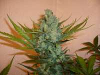 Imagen de merlin (Northern Lights Nr5 X Haze)