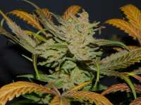 Spliff Seeds Spliff's Strawberry - photo réalisée par CSTP420