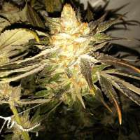 The Cali Connection Purple Diesel - photo réalisée par firetrich