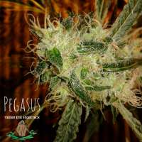Third Eye Genetics Pegasus - photo réalisée par ThirdEyeGenetics